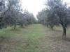 Piantagione ulivo
