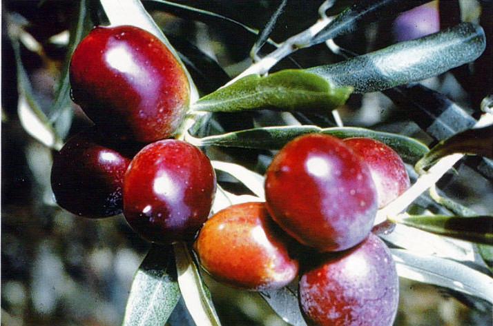L'olivo carolea